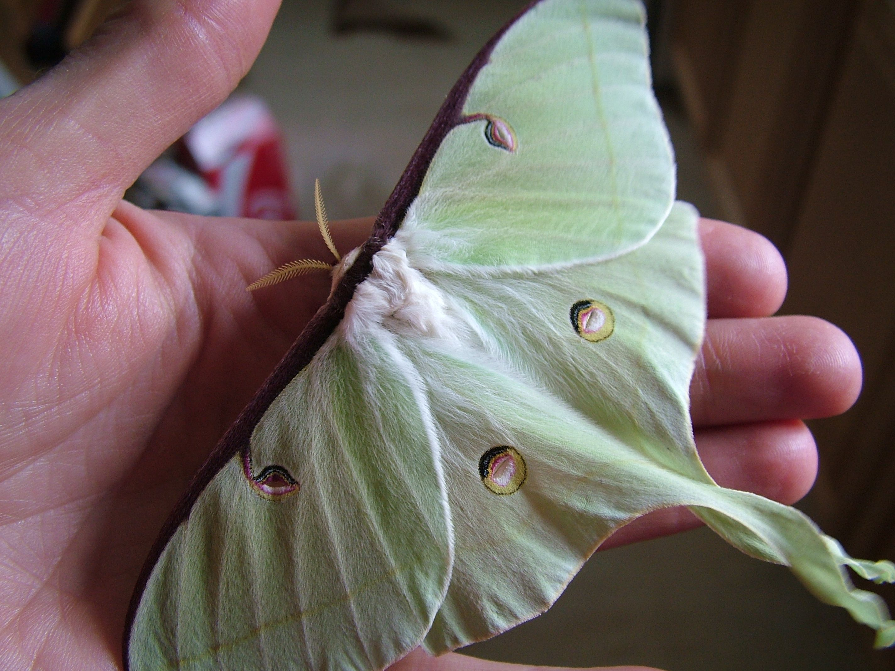 Fairiemoon Luna Moth Project