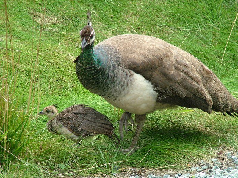 BabyPeacock2