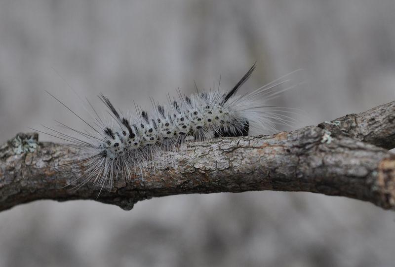 Caterpillar05a