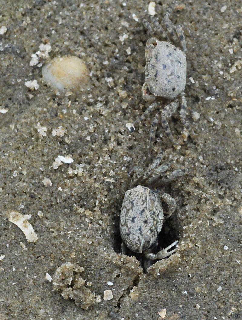 SandCrabs1b