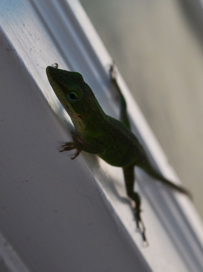 Anole2