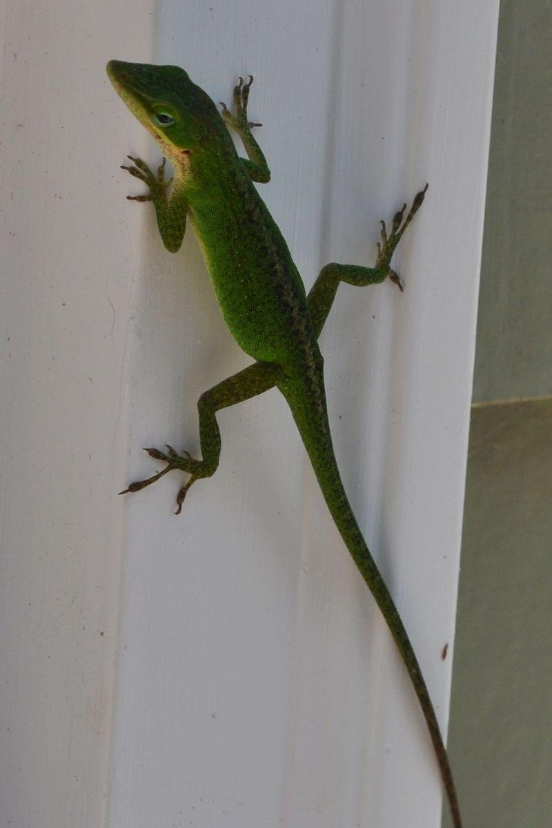 Anole3