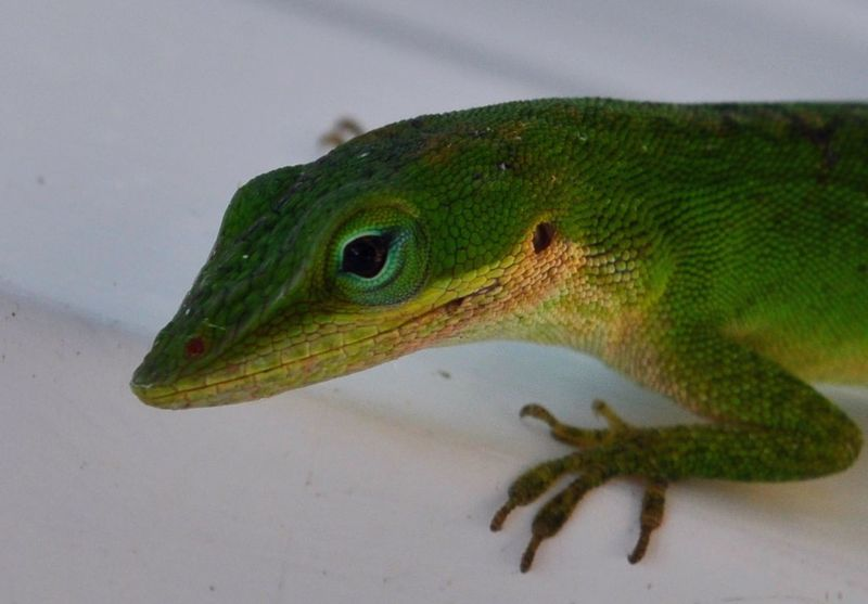 Anole5