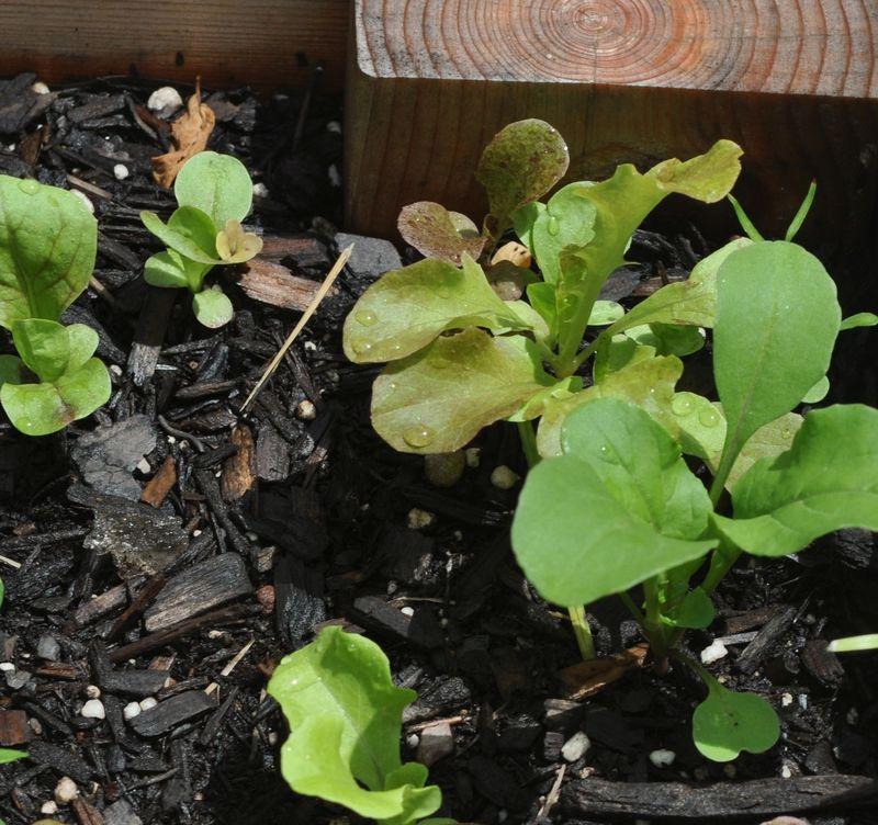 Lettuces1