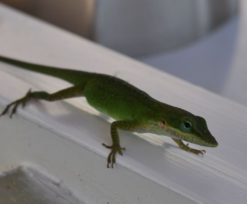 Anole1