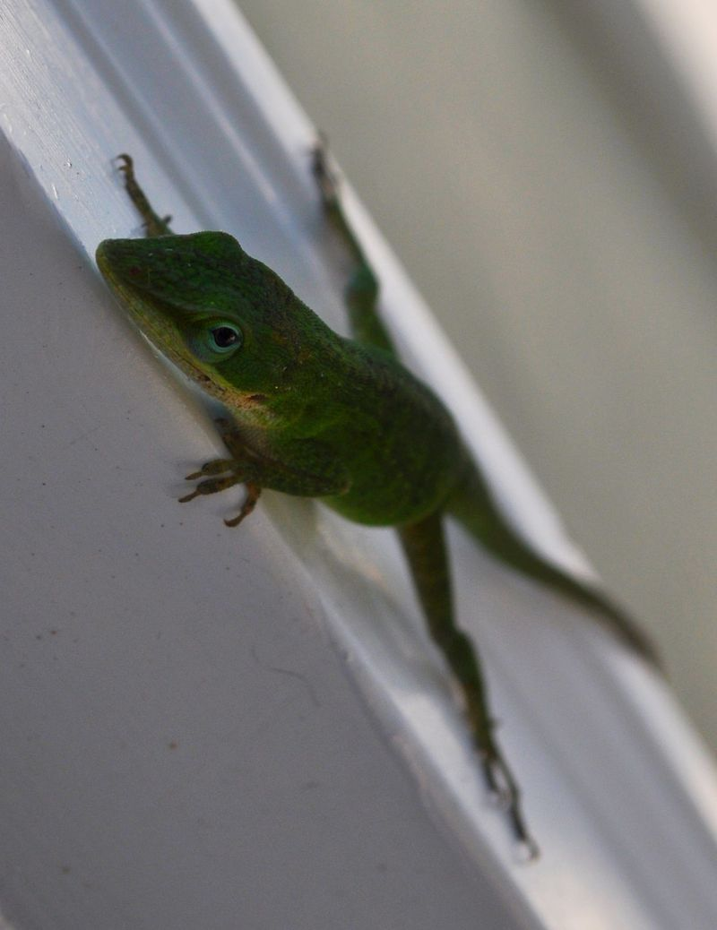 Anole6