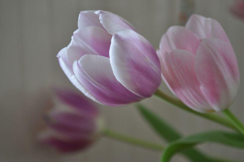 Tulips09b