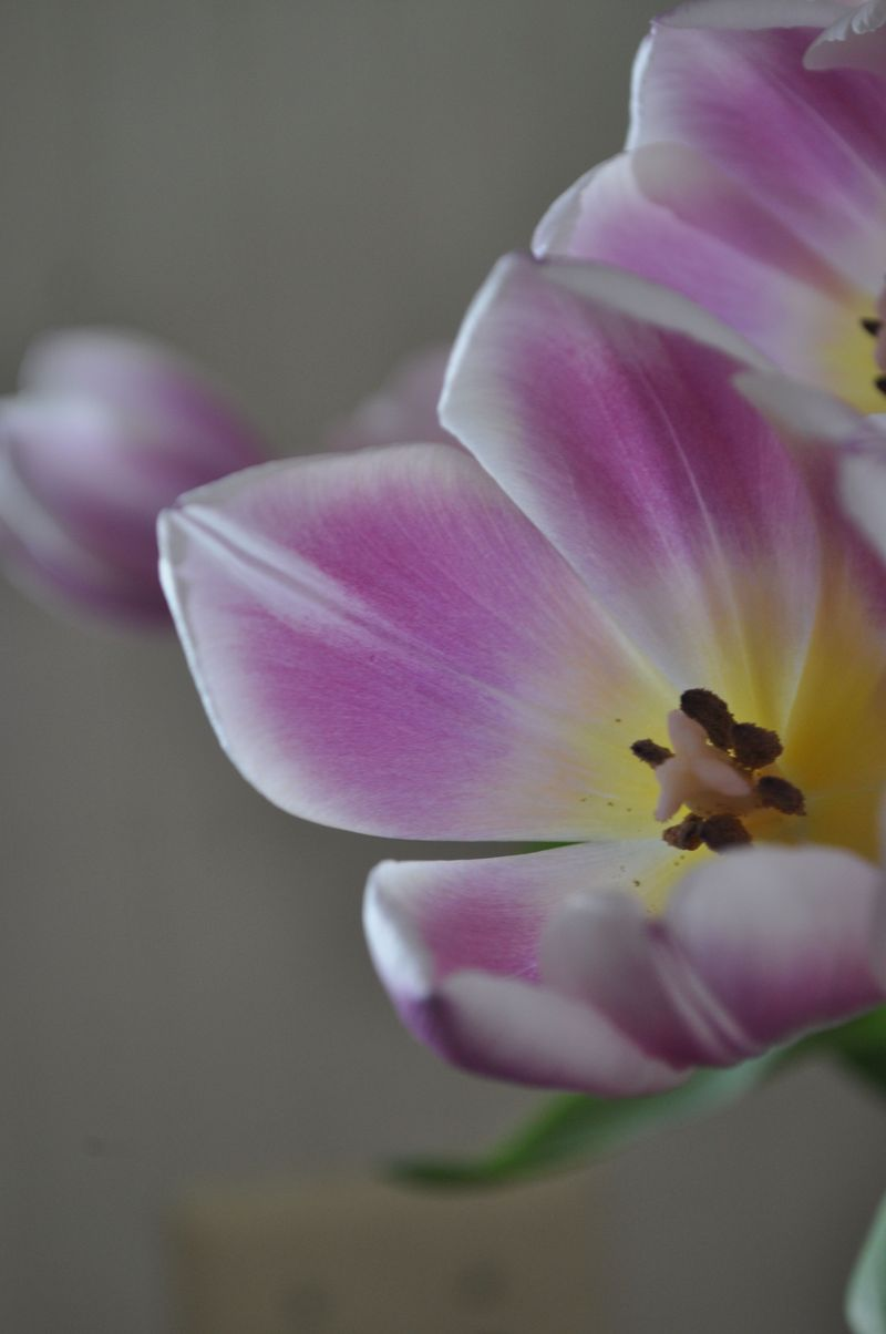 Tulips06a