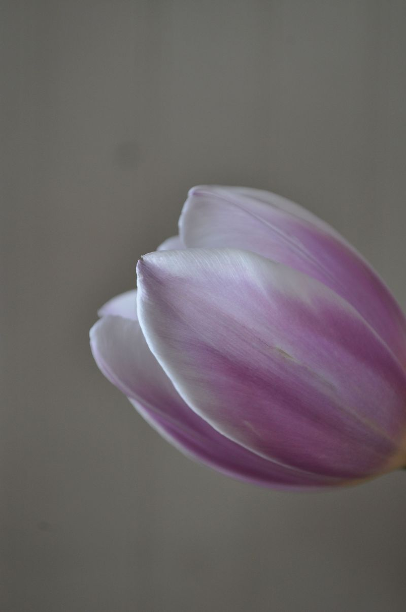 Tulips07a