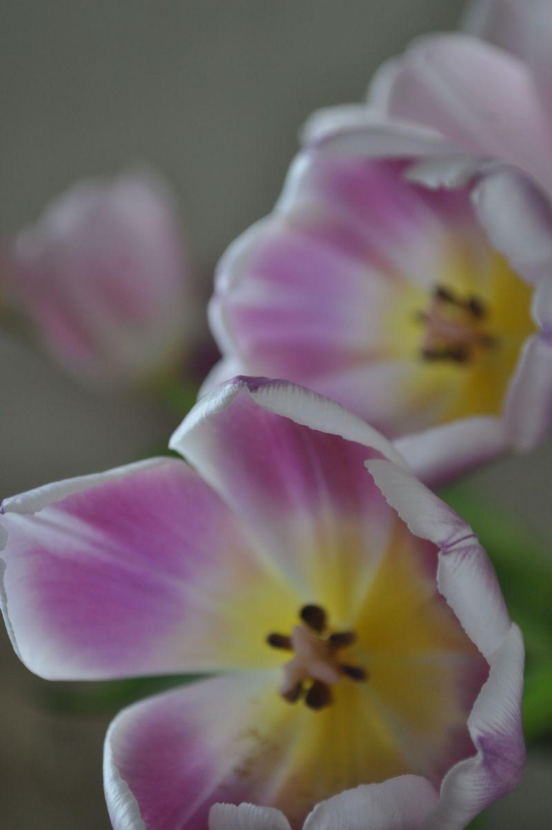 Tulips03b